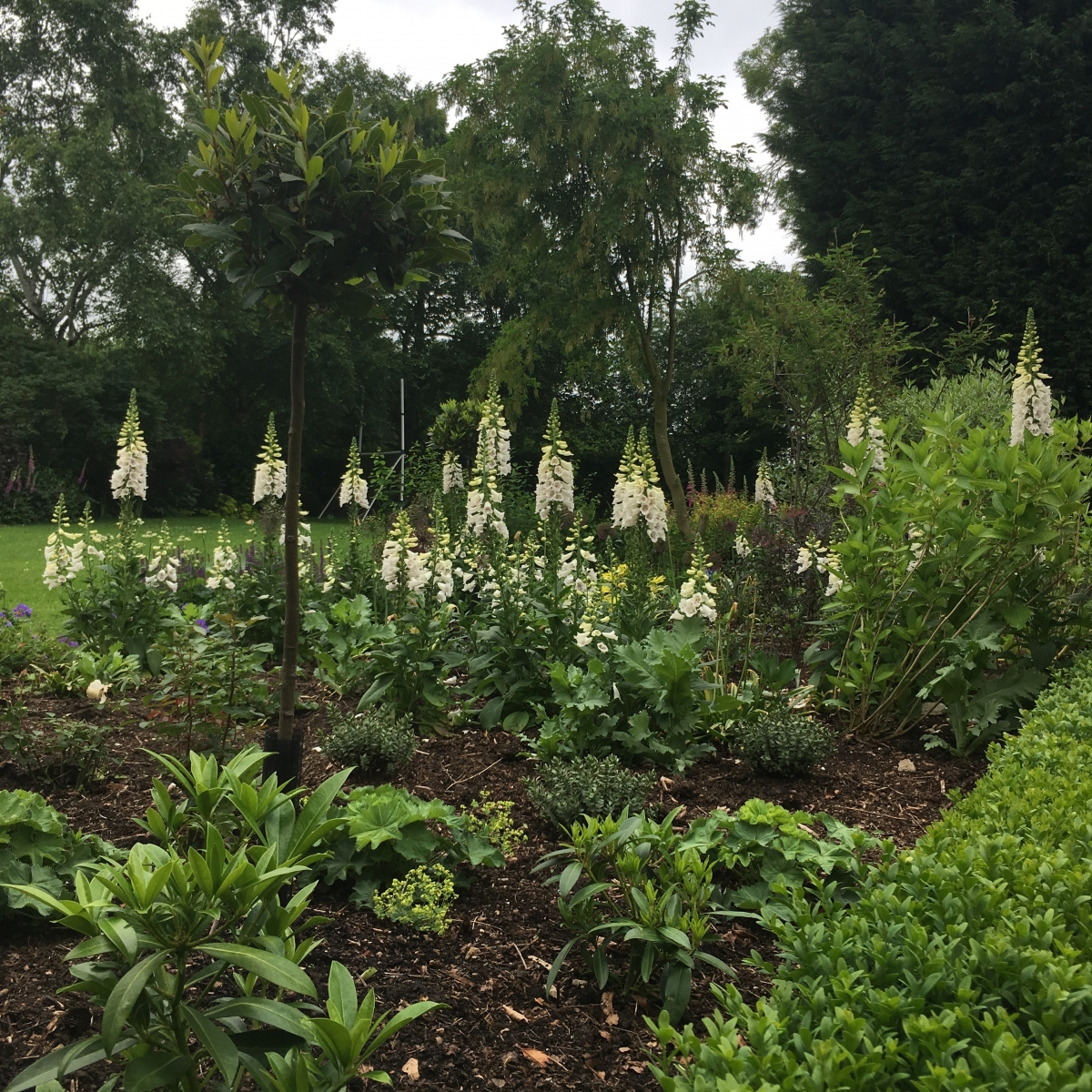 Clay Coton White foxgloves