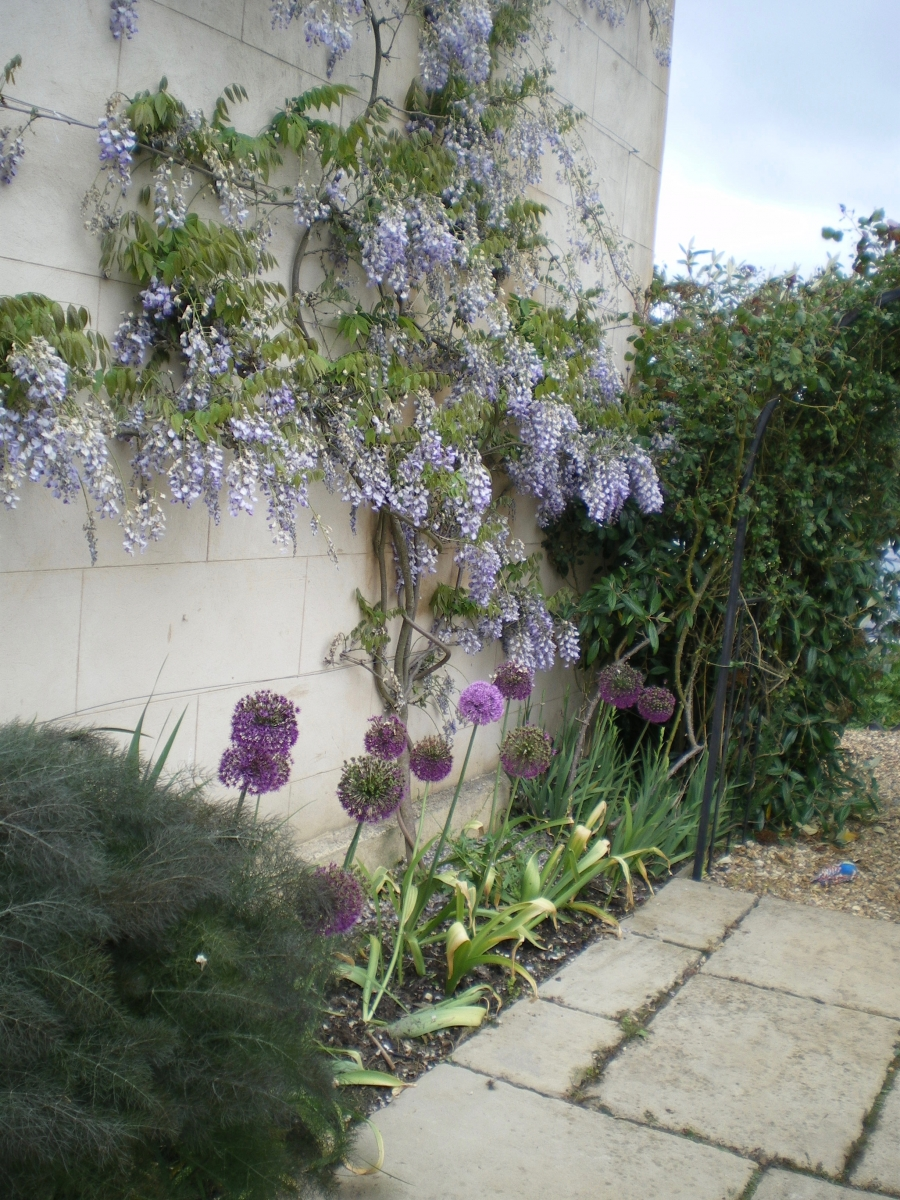 Edge of village alliums and wisteria